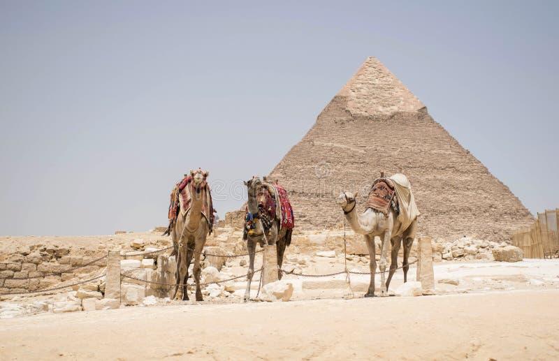 Stor pyramid av khufuen giza Egypten Med tre kamel framme av buidlingen Typisk Egypten bakgrund arkivbilder