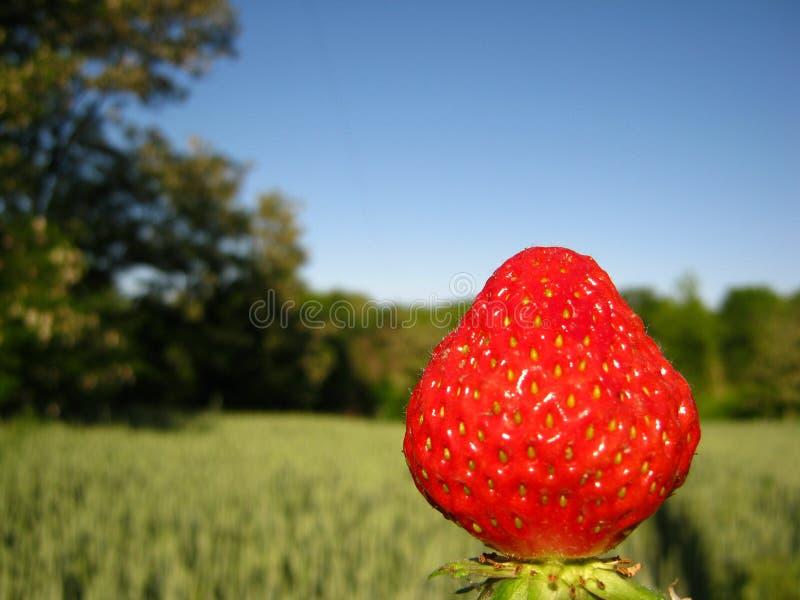 stor röd jordgubbe arkivfoto