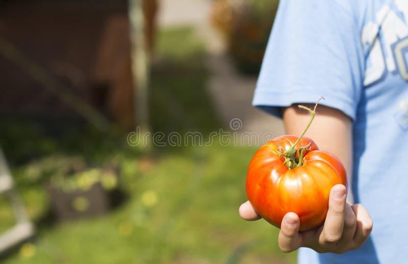 Stor röd tomat fotografering för bildbyråer