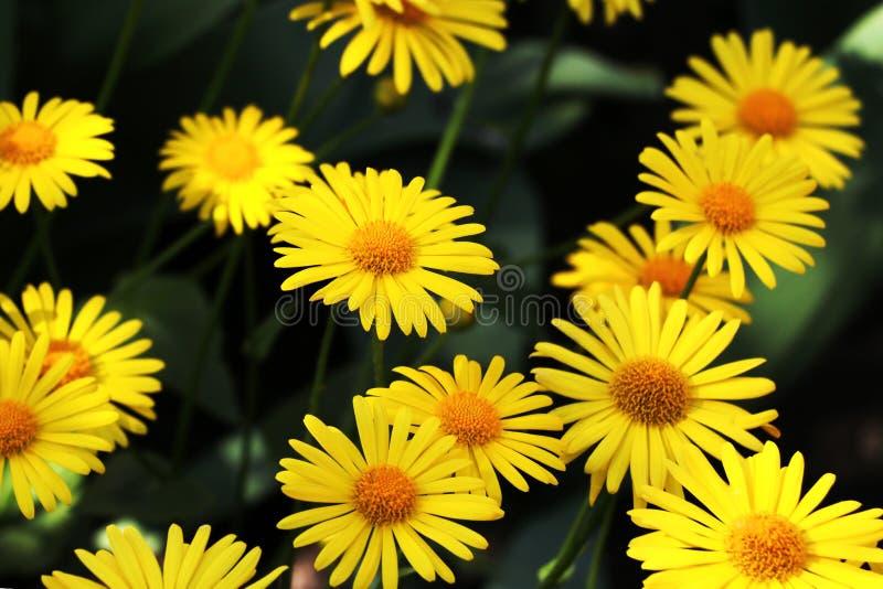 Stor rabatt av härliga gula tusenskönor med stora kronblad arkivfoton