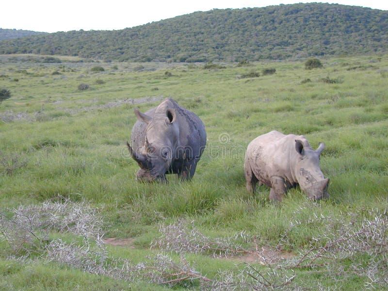 Download Stor rhinoceraus arkivfoto. Bild av litet, djungel, noshörning - 34970