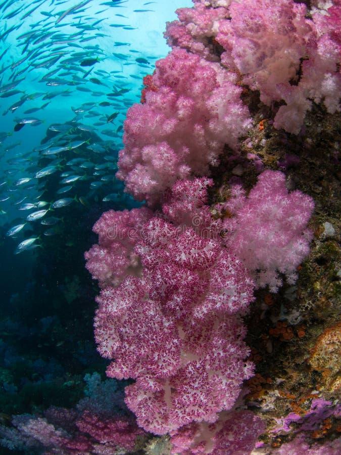 Stor rosa mjuk korall fotografering för bildbyråer