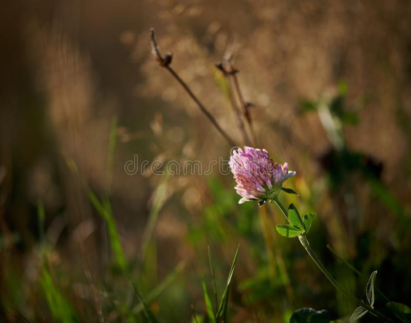 Stor rosa växt av släktet Trifoliumblommavippning arkivfoto