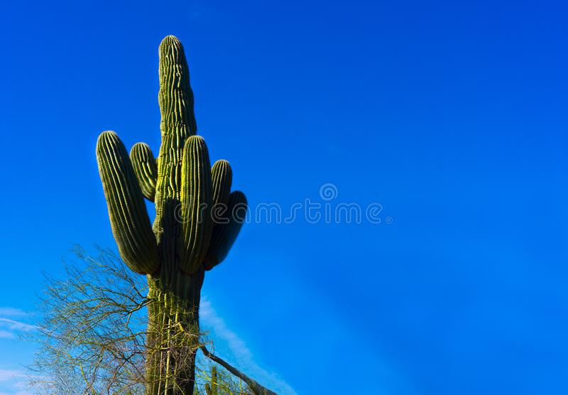 Stor Saguarokaktus i Sonora?ken av Arizona royaltyfria bilder