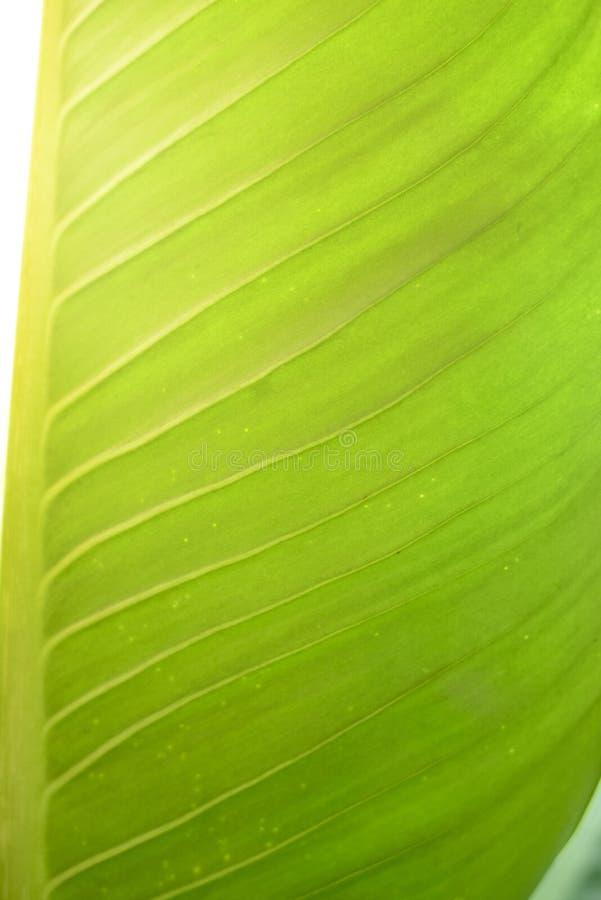 Stor sidagräsplan för Dieffenbachia royaltyfri foto