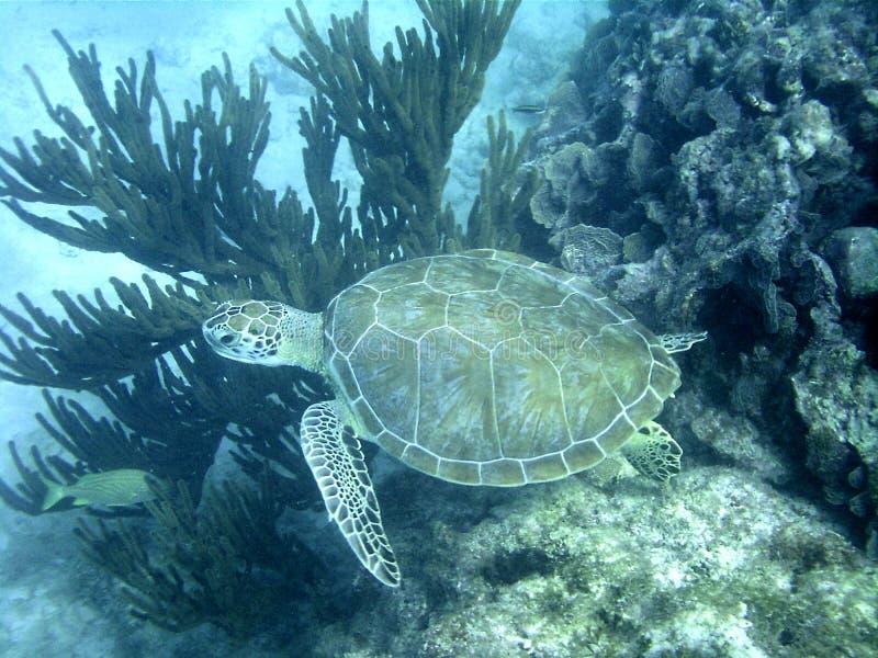 Stor simning för havssköldpadda i havet arkivfoton