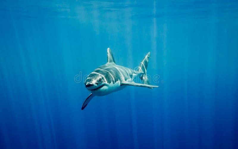 Stor simning för vit haj i det blåa havet under solen rays royaltyfri foto
