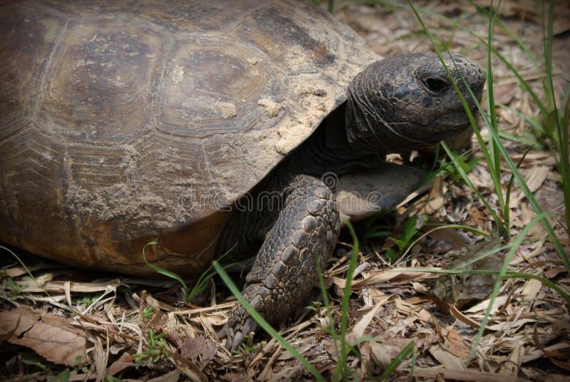 stor sköldpadda för ask arkivfoto