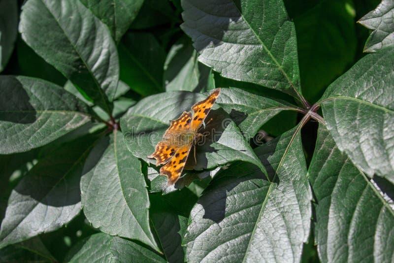 Stor sköldpadds- fjäril på ett blad arkivbild