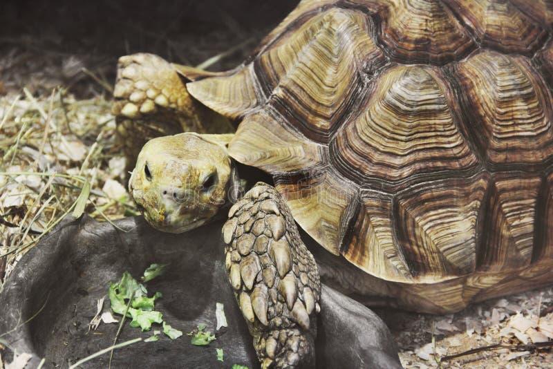 Stor sk?ldpadda i akvarium arkivfoton