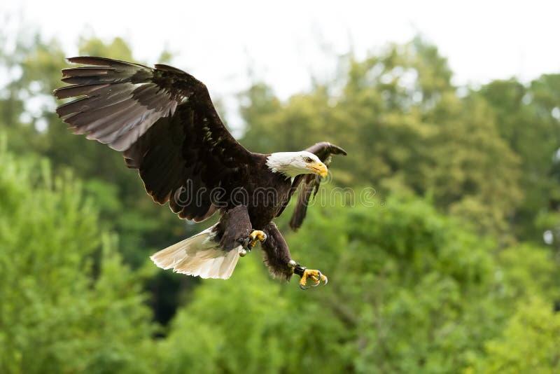 Stor skallig Eagle Haliaeetus albicill arkivbild