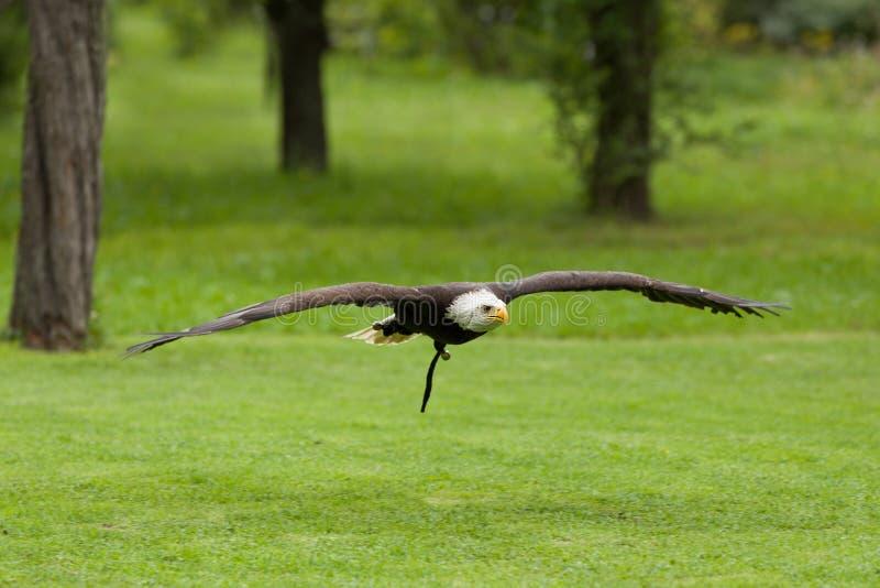 Stor skallig Eagle Haliaeetus albicill royaltyfri foto