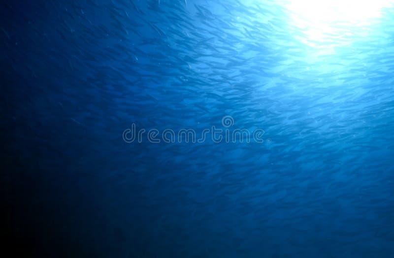 Stor skola av fisken royaltyfri bild