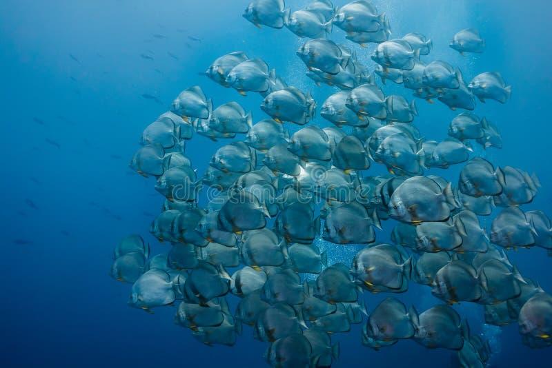 Stor skola av Orbicular spadefish royaltyfria foton