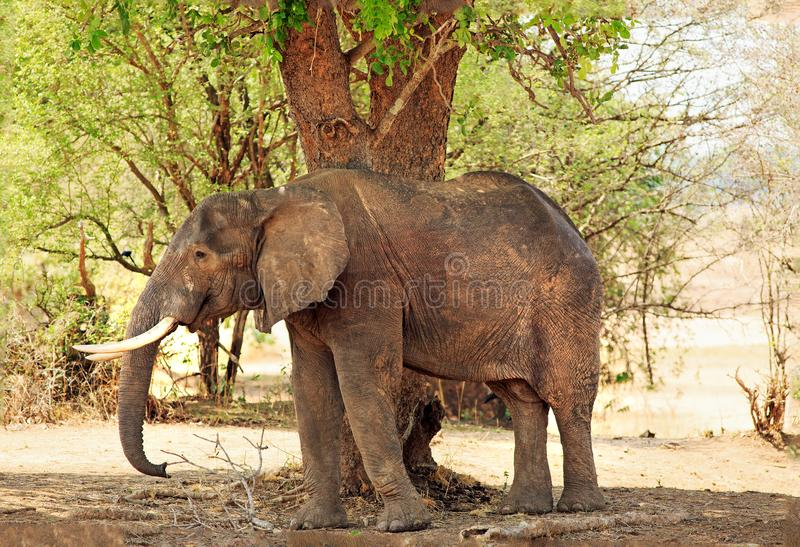 Stor skuggning för afrikansk elefant under ett stort träd i den södra Luangwa nationalparken, Zambia arkivbilder