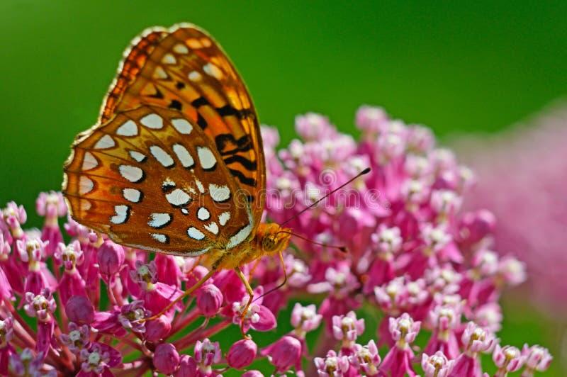 Stor Spangled Fritillaryfjäril som matar på rosa Milkweed royaltyfria bilder