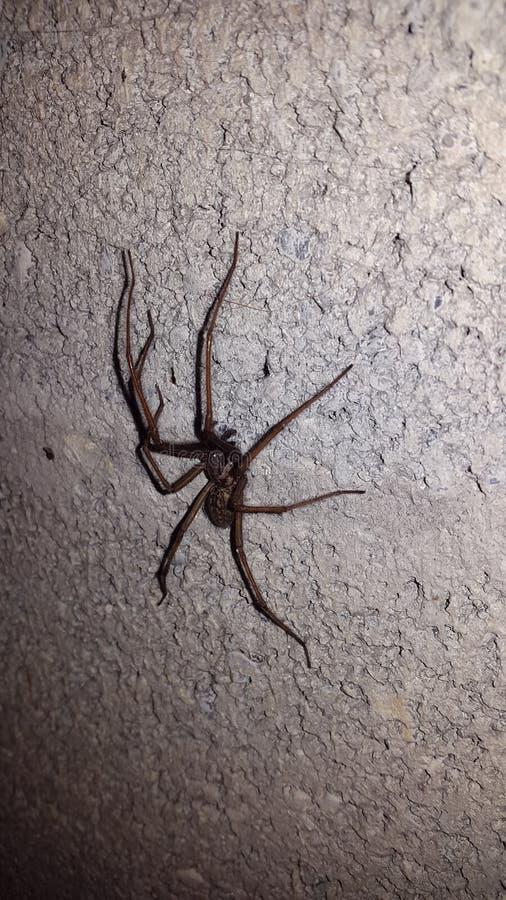 Stor spindel på en vit gammal vägg arkivbilder