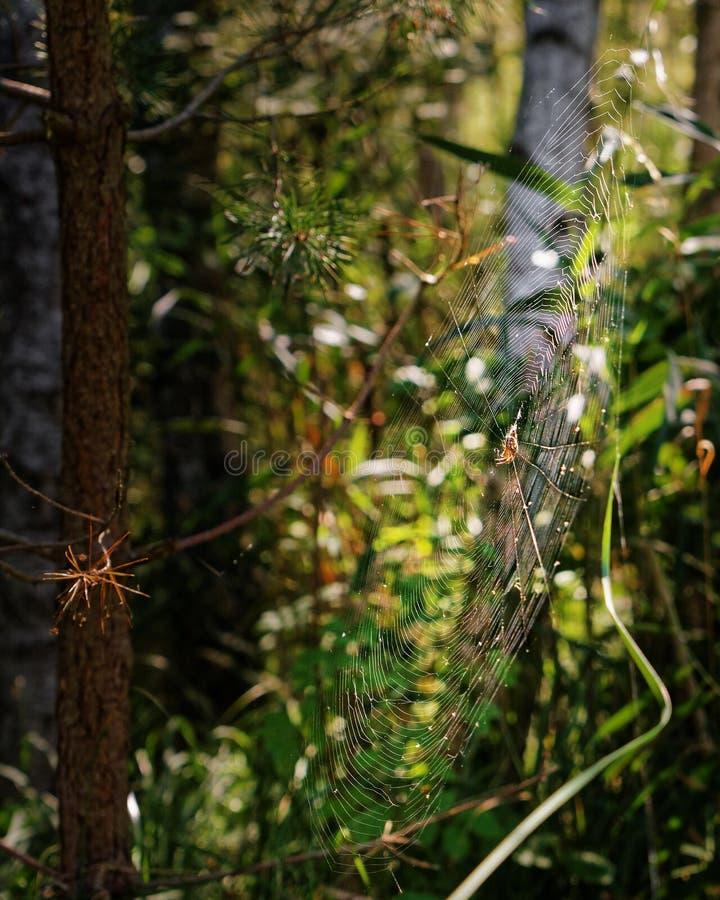 Stor spindelrengöringsduk i höstskogen arkivfoton