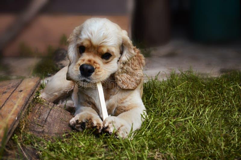 Stor stående av en hund, som biter en pinne på det gröna gräset, Cocker Spaniel royaltyfria foton