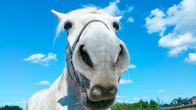 Stor stående för huvud för vit häst på en solig sommardag med klar blå himmel och vita moln royaltyfria foton