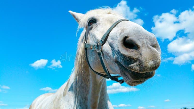 Stor stående för huvud för vit häst på en solig sommardag med klar blå himmel och vita moln royaltyfri foto
