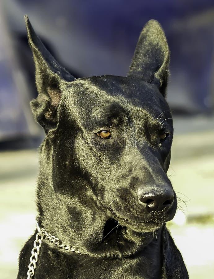 Stor stående för svart hund med suddig bakgrund utomhus dagsljus arkivfoton