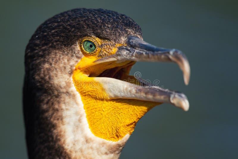 stor st?ende f?r cormorant Phalacrocoraxcarbo close upp arkivbild