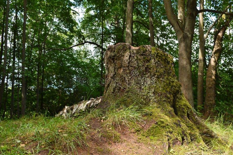 Stor stump av det gamla trädet Stump i parkera royaltyfri foto