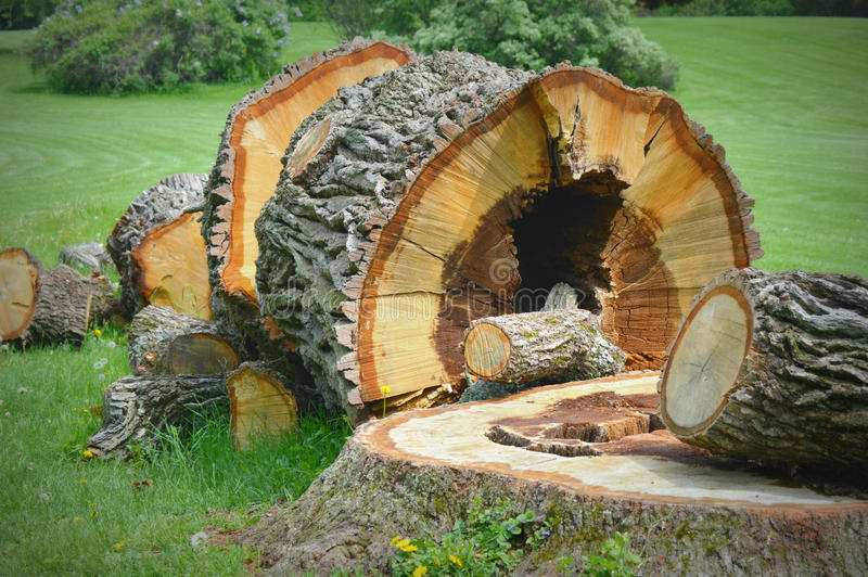Stor stupad trädstubbe royaltyfria bilder
