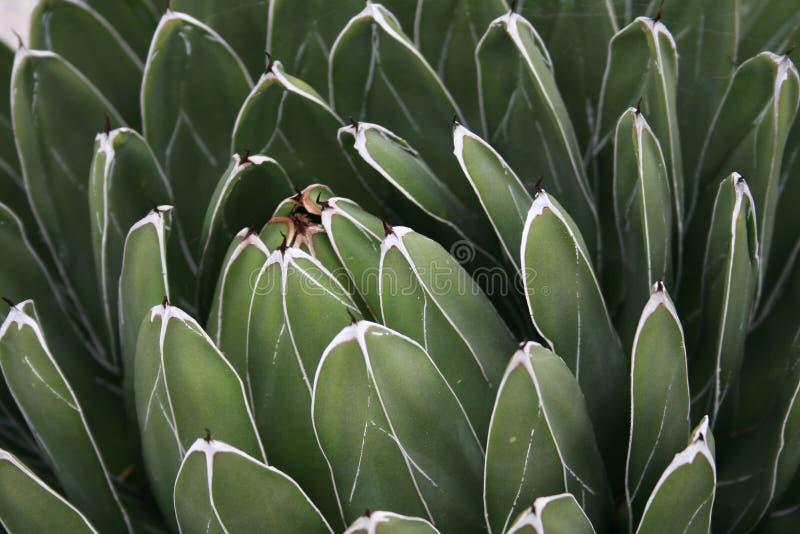 Stor suckulent växt: agavevictoria reginae royaltyfria foton
