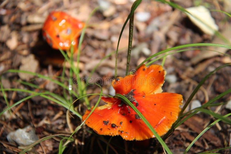Stor svamp för rökigt berg royaltyfri foto