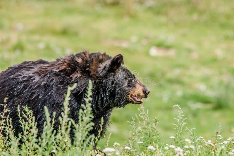 Stor svart amerikansk björn arkivfoton