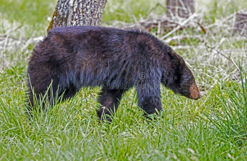 Stor svart björn som går i grönt gräs royaltyfri foto