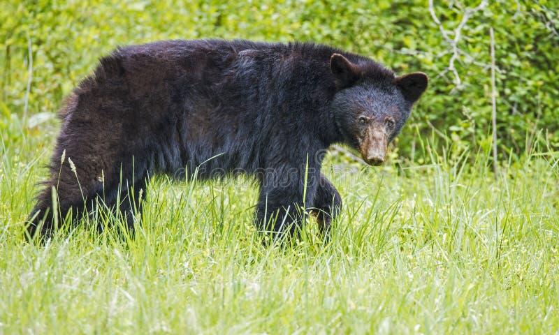 Stor svart björn som promenerar se kameran royaltyfria bilder