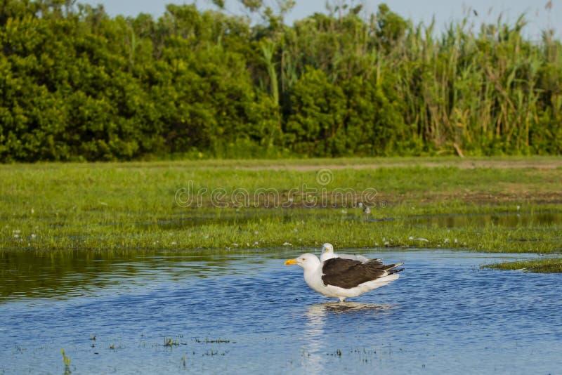 Stor Svart-dragen tillbaka fiskmås som står i dammet royaltyfria bilder