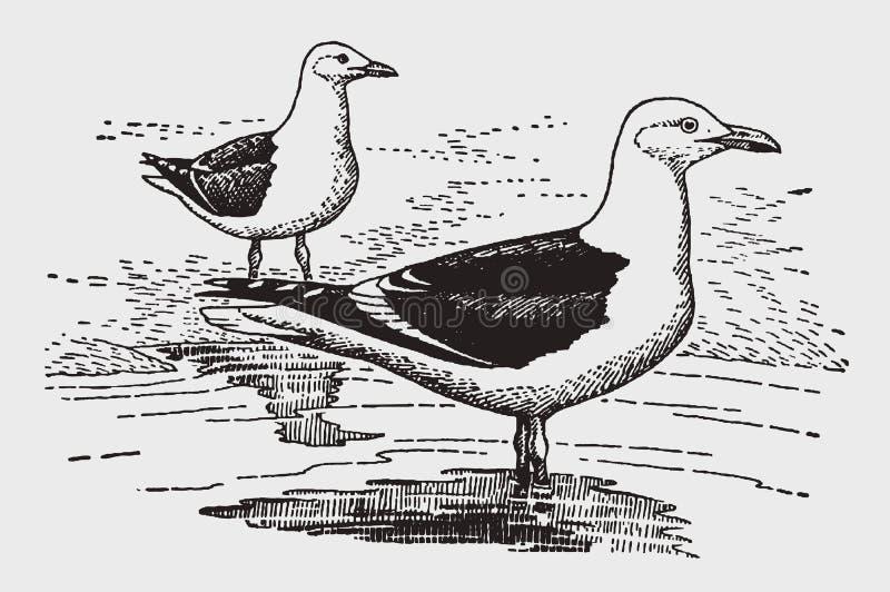 Stor svart-dragen tillbaka larus marinus som för fiskmås två står på en kust royaltyfri illustrationer