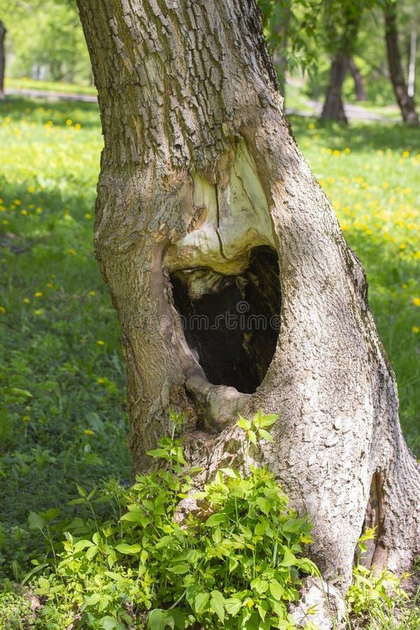Stor svart fördjupning i en trädstam Grönt gräs för sommar på bakgrund Hål i fördjupningen för nisch för manhål för trädfördjupni fotografering för bildbyråer