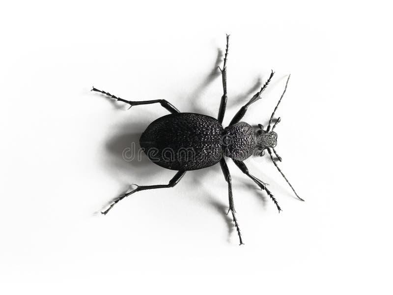 Stor svart och violett skalbagge som isoleras på vit bakgrund fotografering för bildbyråer