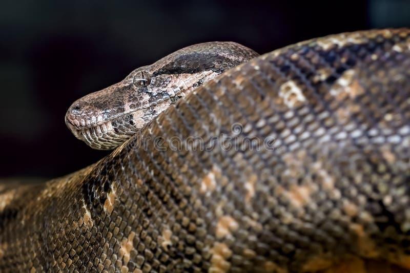 Stor svart orm i en zoo fotografering för bildbyråer