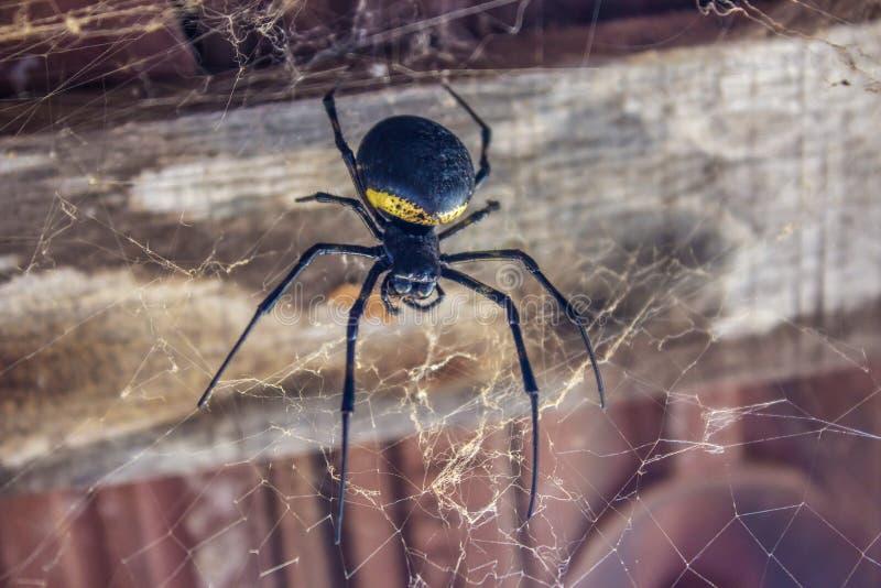 stor svart spindel royaltyfri foto