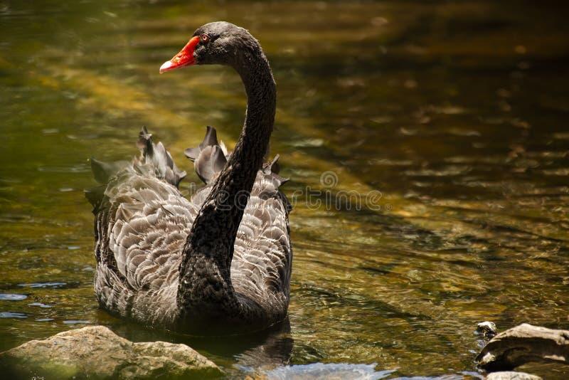 Stor svart svan royaltyfri foto