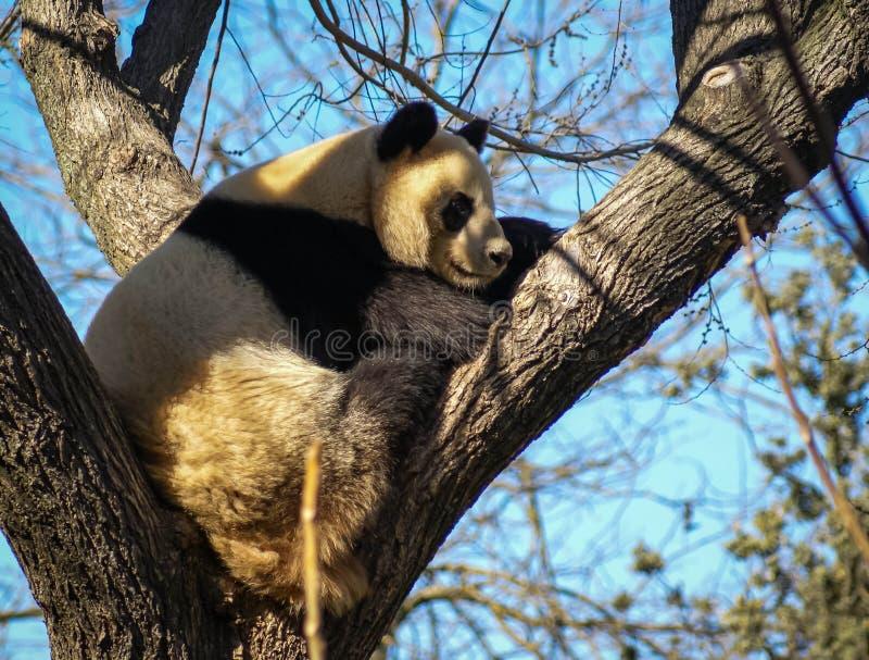 Stor svartvit pandabjörn som sitter på ett träd fotografering för bildbyråer