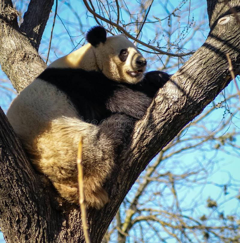 Stor svartvit pandabjörn som sitter på ett träd arkivbild