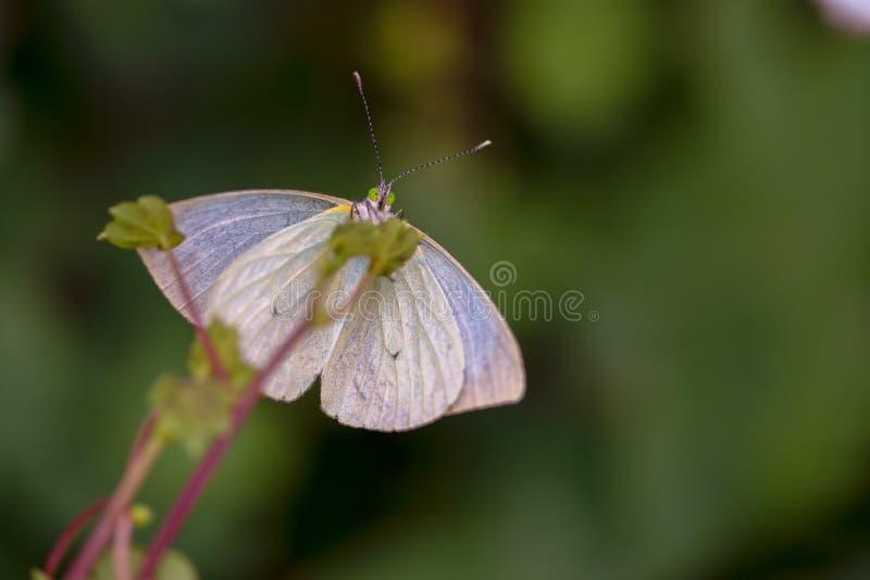 Stor sydlig vit fjäril som sätta sig på ett blad fotografering för bildbyråer