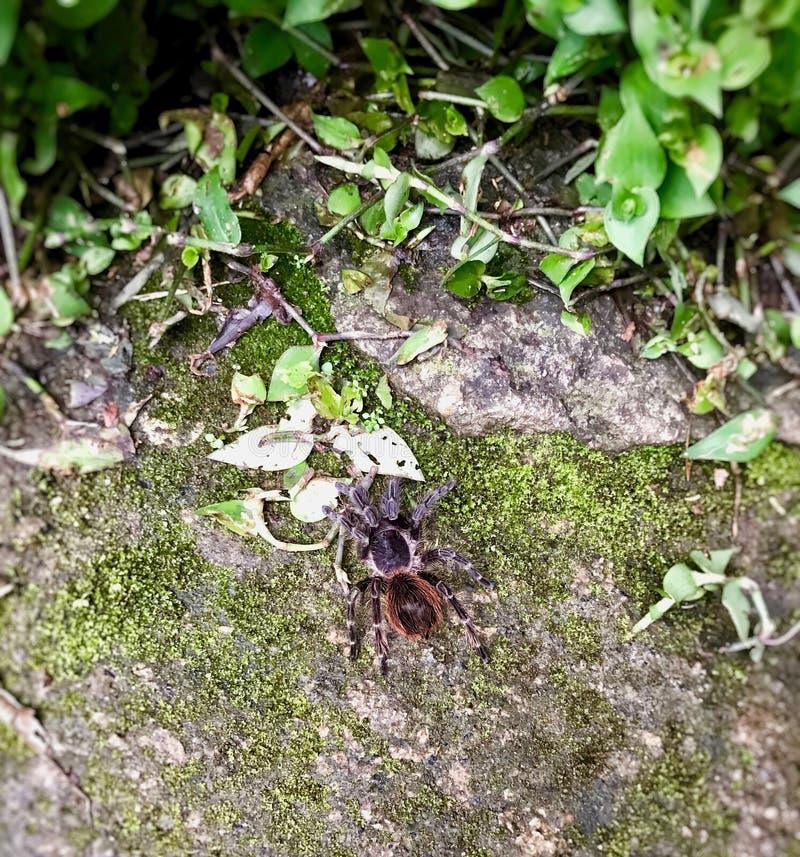 Stor tarantel som finnas i skogen av Brasilien fotografering för bildbyråer