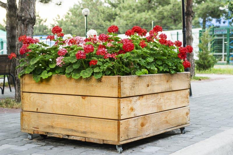 Stor träkruka med den röda pelargonblomman i utomhus- royaltyfria foton