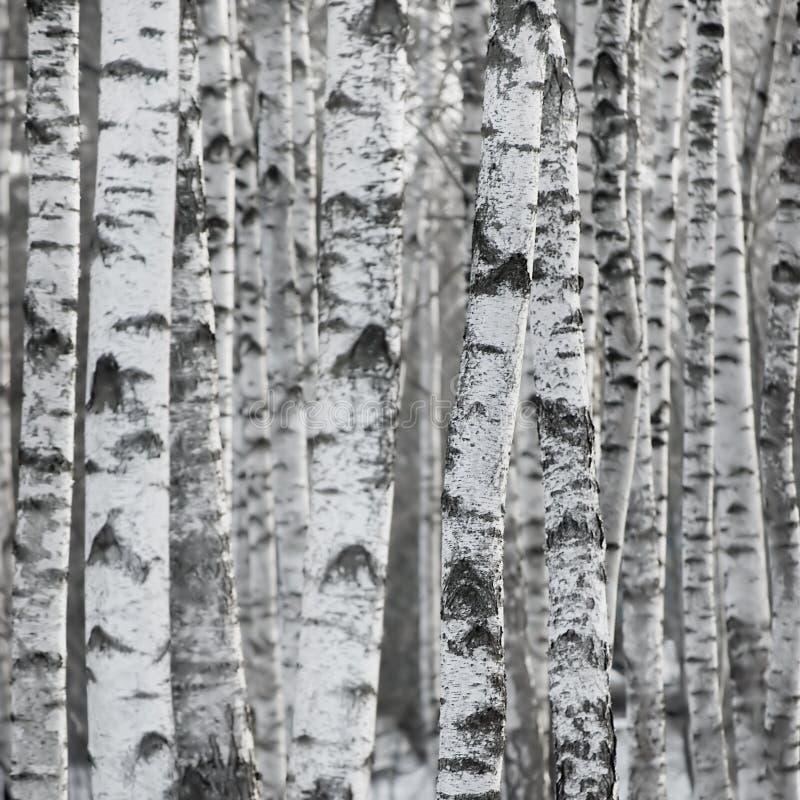stor tree för bakgrundsbjörkskog arkivfoton