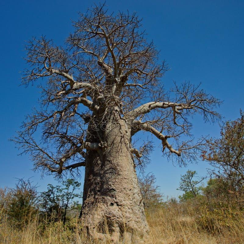 stor tree för baobab royaltyfri foto