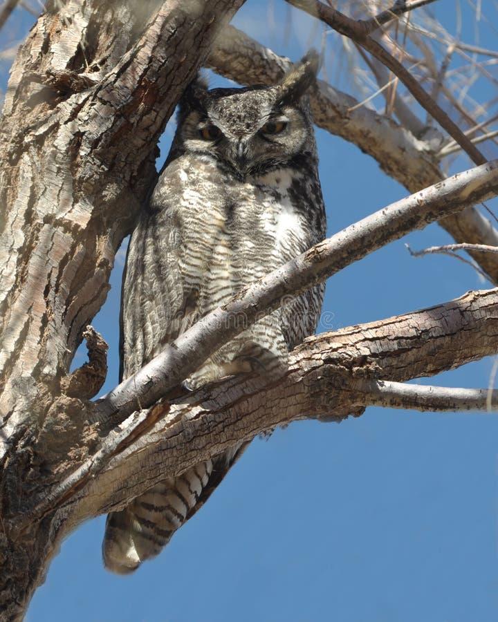 stor tree för horned owl royaltyfri fotografi