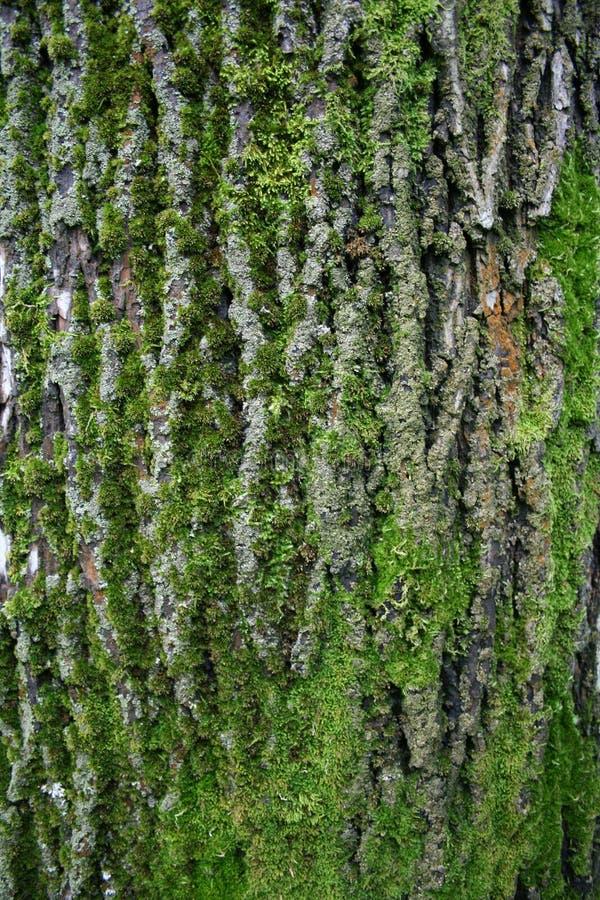 stor tree för skäll royaltyfri foto